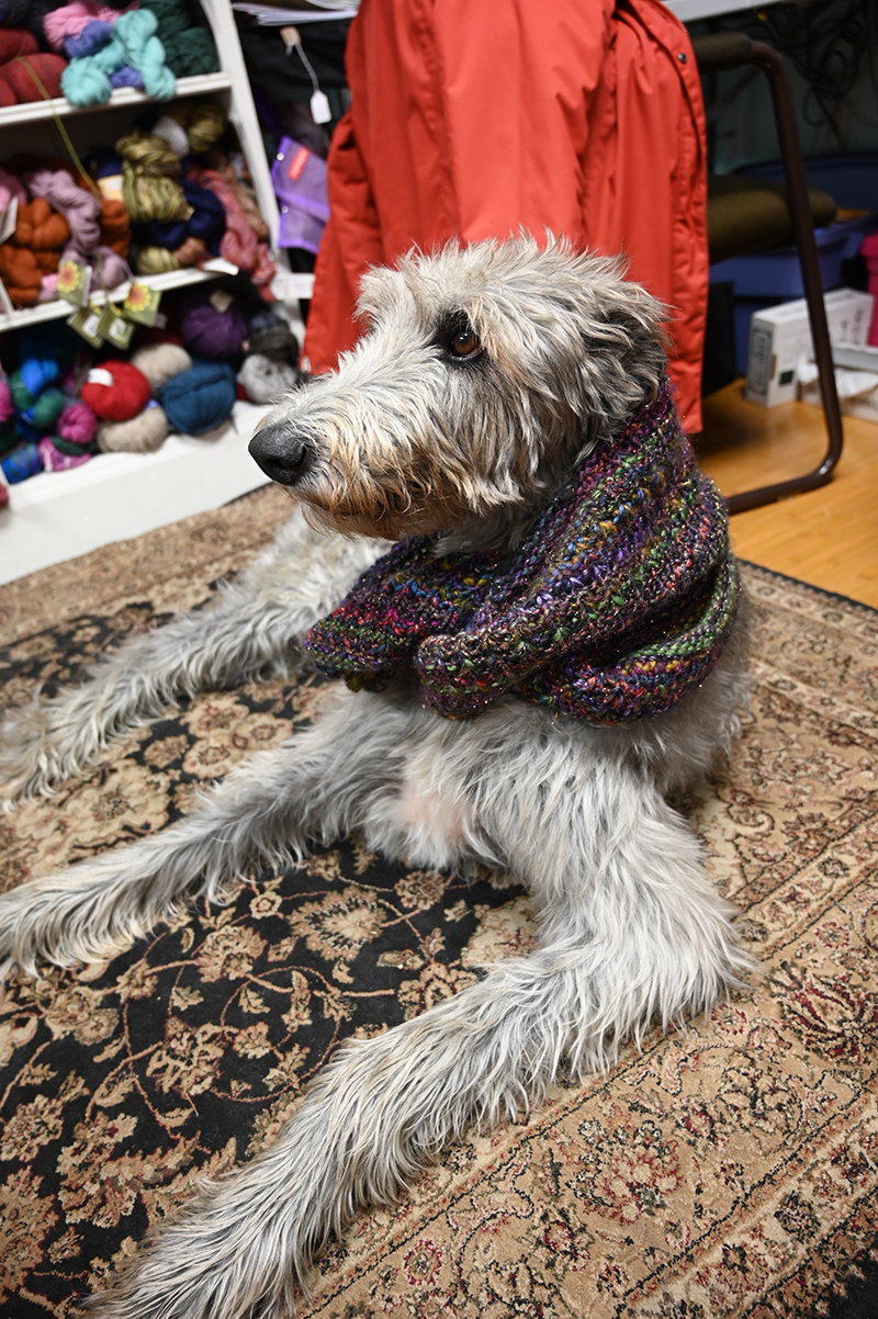 A dog wearing a knitted scarf in a knitting store in Connecticut